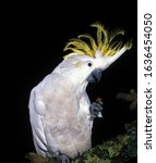 Small photo of LESSER SULPHUR-CRESTED COCKATOO cacatua sulphurea