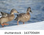 Mallard Ducks Standing On The...