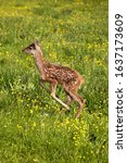 Small photo of RED DEER cervus elaphus, FAWN LEAPING THROUGH YELLOW FLOWERS, NORMANDY