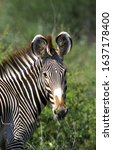 Grevy\'s Zebra Equus Grevyi ...