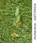 Tipuana Tipu Tree Leaves On...
