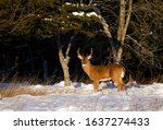 White Tailed Deer Buck At...