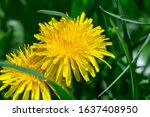 Yellow Dandelion Flower In...