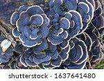 Trametes Versicolor Mushroom On ...
