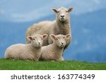 Sheep Family Livestock On A...
