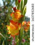 A Close Up Of Bicolor Gladiolus ...