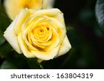 yellow rose with bug | Shutterstock . vector #163804319