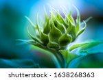 Flower Of A Sunflower. Macro...
