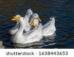 Four White Pekin Ducks  Also...