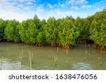 Red Mangrove Forest And Shallow ...