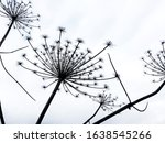 Dry Inflorescences Of Hogweed...