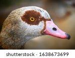 Egyptian Goose In Kelsey Park ...