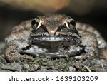 Wood Frog Eyes  Nose  Face  An...