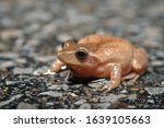 Colorful Spring Peeper Frog...