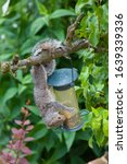 Grey Squirrel Eating From A...