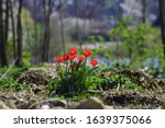Small photo of wild flowers of garden tulip or Tulipa gesneriana rich red bloom in April sunshine, abandoned farm field, blur background postcard with free space, nature awaken concept