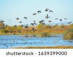 Flock Of Mallard Duck Male...