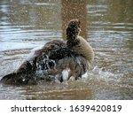A Duck  A Healthy One  Enjoyin...