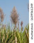 Sugarcane Flower. Arrowing...