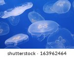 Moon Jellyfish In The Water