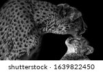 Mother And Baby Leopard Face