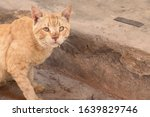 A carnivorous mammal  felis...