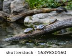 Water Turtles On A Old Log Over ...