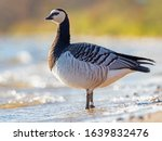 Small photo of Portrait of a barnacle goose. The barnacle goose (Branta leucopsis) belongs to the genus Branta of black geese.