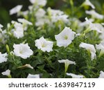 Petunia Easy Wave Color White...