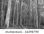 Black & White Forest - stock photo