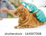 Veterinary Giving The Vaccine...