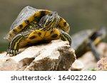 Stock photo a red eared slider turtle sunbathing 164022260