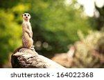 Meerkat  Surikate  Found In...