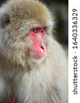 Close Up Of Japanese Macaque  ...
