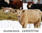 Tan fur colored Scottish Highland cow grouped with others standing in cold Winter Season outside of Merrill, Wisconsin