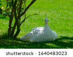White Peacock Sits On The Grass