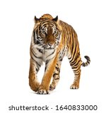 Front view of a tiger walking ...