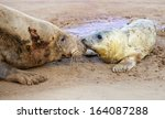 grey seals  mother and newborn... | Shutterstock . vector #164087288