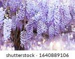 Flowering Wisteria Tree...
