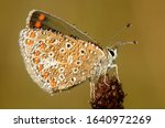 Brown Argus Butterfly In Early...