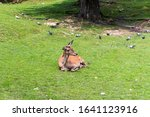 The Deer Lies On A Green Meadow