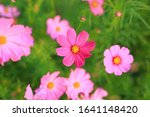 Beautiful Cosmos Flower...