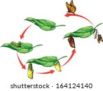 Butterfly life cycle. - stock vector