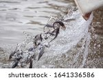 Small photo of Amur sturgeon ( Acipenser schrenckii ) fingerlings from the fish hatchery are released into the Amur river. Khabarovsk Krai, far East, Russia.