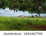 Cattle Resting Under A Large...