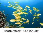 School Of Fish  Bluestripe...