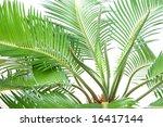 cycas | Shutterstock . vector #16417144