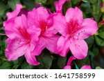 Blooming Pink Azalea Flowers...