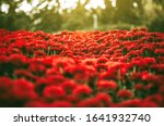 Beautiful Chrysanthemums In The ...