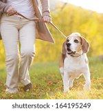 Stock photo senior woman walking her beagle dog in countryside 164195249